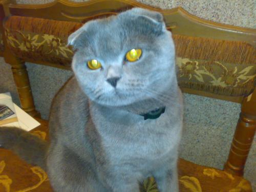 Шотландской вислоухой кошке с
