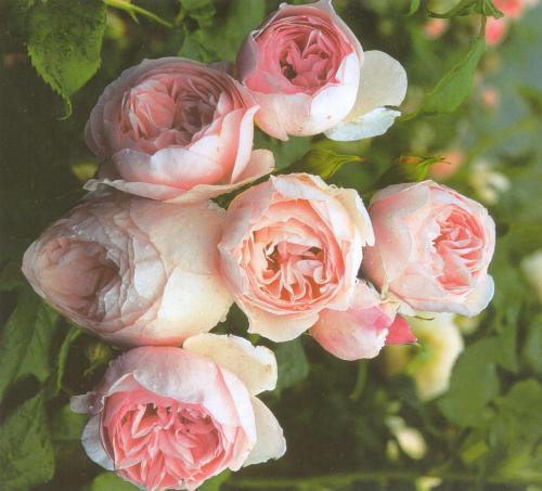 Самые популярные плетистые розы 2